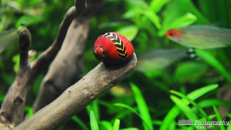 Beautiful Nerite snail (migs_hernan 20 Gallons)
