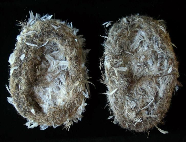 Pair of aboriginal Kadaitcha shoes, made of emu feathers and human hair. Tightly woven and in great condition for the age. Collected central australia in 1940's