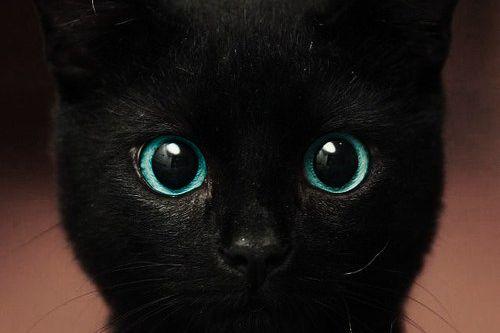 blue eyes: Kitty Cats, Blue Eyes Beautiful, Blue Eyes So, Black Cats And, Cat Eyes, Big Eyes, Blue Eyed Kitty, Beautiful Eyes, Animal