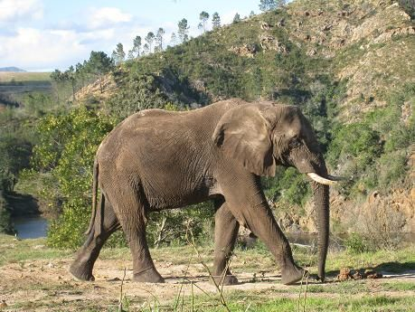 African elephant, image taken on safari at Botlierskop Private Game Reserve, Western Cape, South Africa