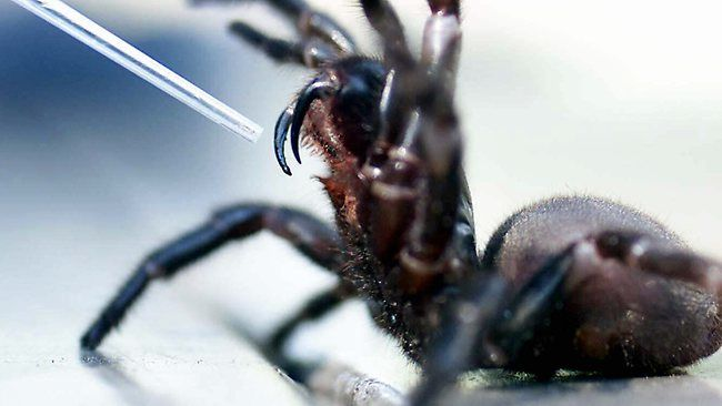 Sydney funnel-web spiders - one of the deadliest spiders in the world.