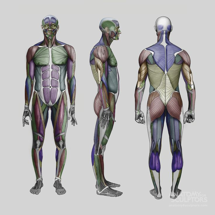 Anatomy Next - Anatomy - anatomy, key features, and proportion mesurements