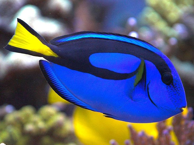 The blue teptus tang or dory from finding nemo is a for Small tropical fish