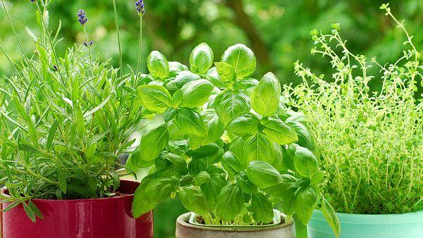 Jak vybírat bylinky a jak se o ně postarat? Proč květináče ze supermarketu nikdy nevydrží? A jaké chyby při pěstování bylinek nejčastěji děláme? Na všechny tyto otázky odpovídá Jakub Krulich. Ví, o čem mluví - ve svém zahradnictví pěstuje přes čtyřicet druhů máty nebo tymián s okrasnými lístky...