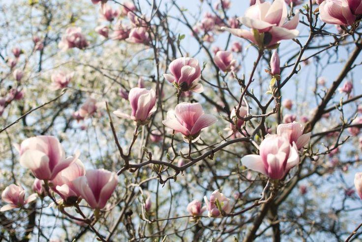 Praktmagnolia blomstrer på bar kvist.
