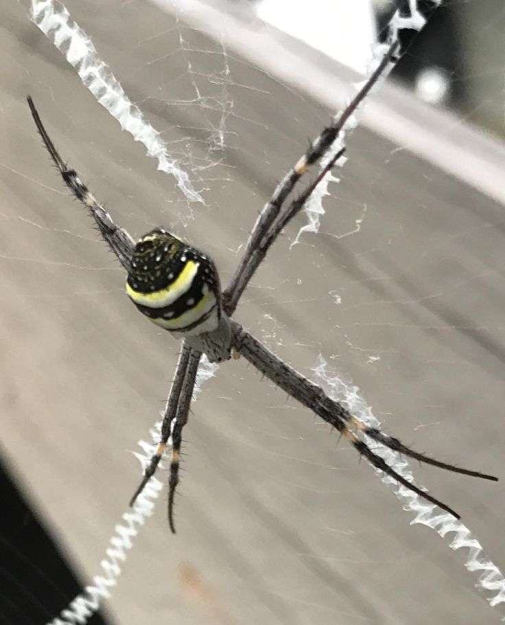 St. Andrews Cross Spider been chilling outside my house for over a month now