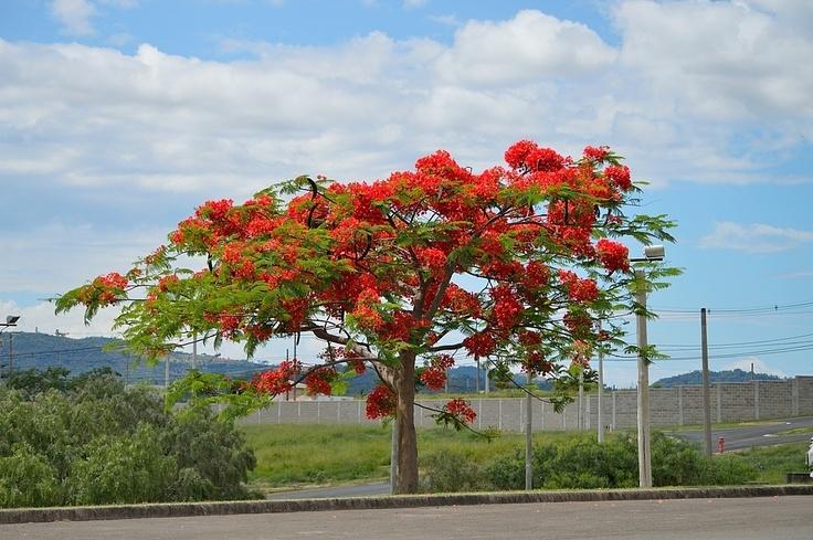 Red Flamboyant