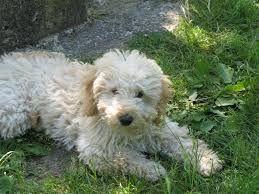 Resultado de imagen para fotos de perros raza caniche enano