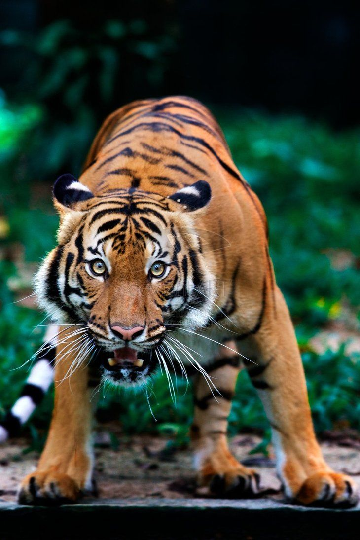 17 Best Images About Beautiful Tiger On Pinterest Tigers Jaguar