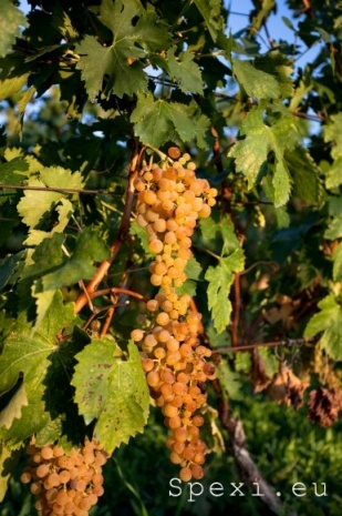 Bosa: grapes of Malvasia