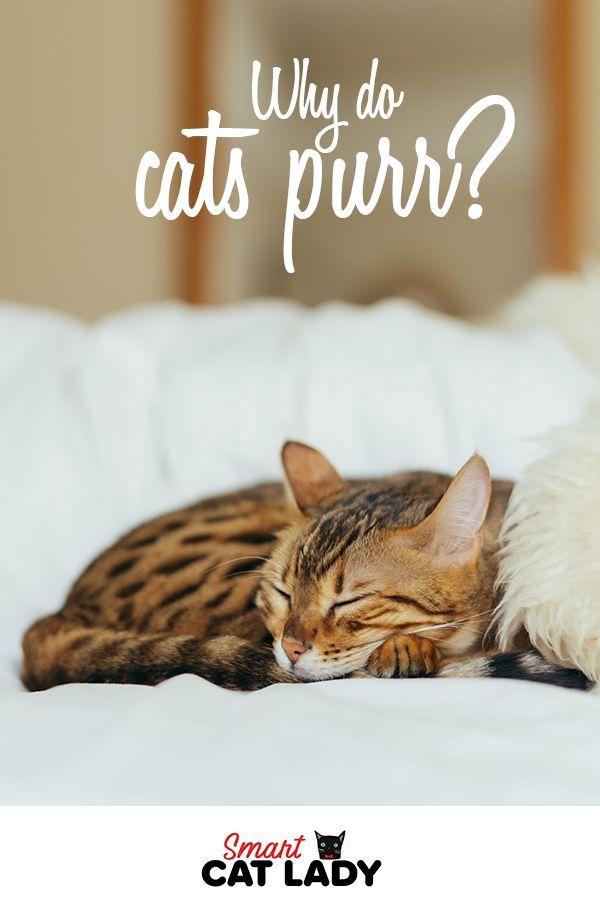 Why Do Cats Purr In 2020 Why Do Cats Purr Cat Purr Cats