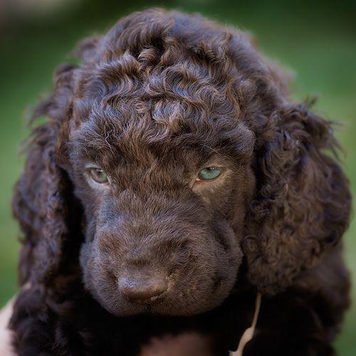 Irish Water Spaniel #dogs #puppy