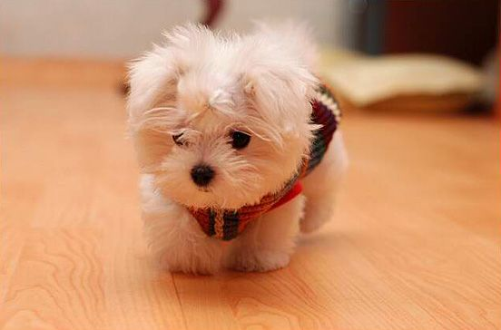 Wow. Baby maltese really don't know when to quit.