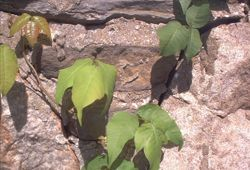 How to Get Rid of Poison Oak Plants: Photo of poison ivy vine with leaves at various stages of growth. Poison oak looks similar but the leaves are shaped like oak leaves.
