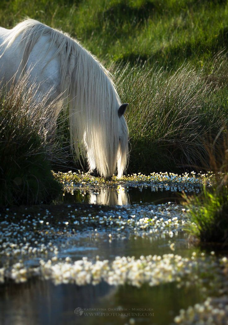 white horse drinking from a pond
