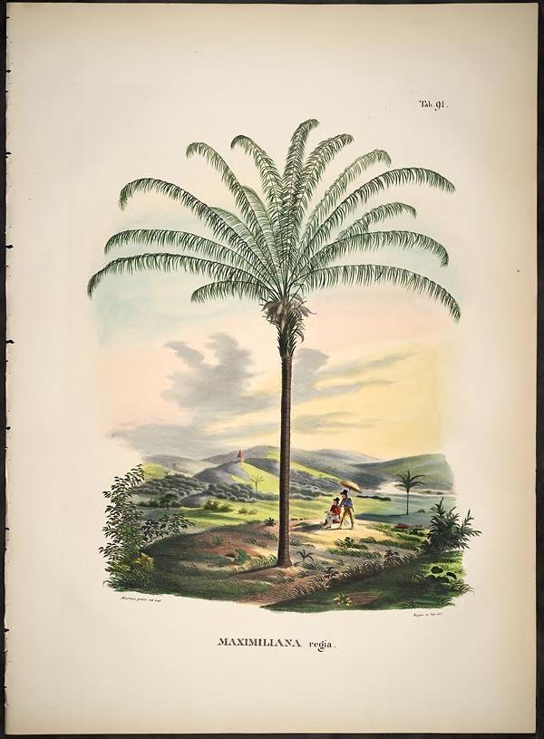 Historia naturalis palmarum :opus tripartium / Carol. Frid. Phil. de ...