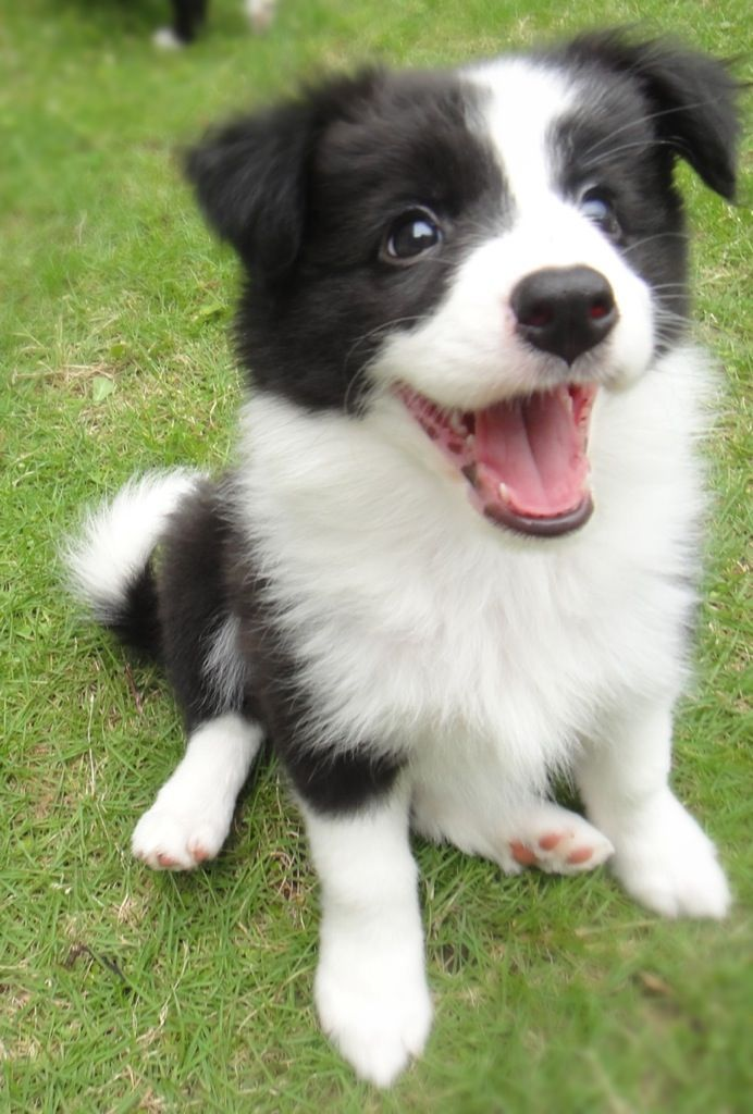 Baby Dog With Images Cute Cats And Dogs Collie Puppies Border Collie Puppies