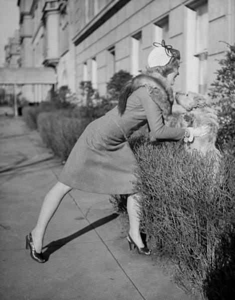 Actress Joan Caulfield lifting her West Highland terrier Witty out from behind a hedge, while trying to take him for a walk-NYC - Photo by Nina Leen - 1944
