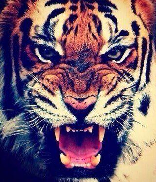 Tigerr <3