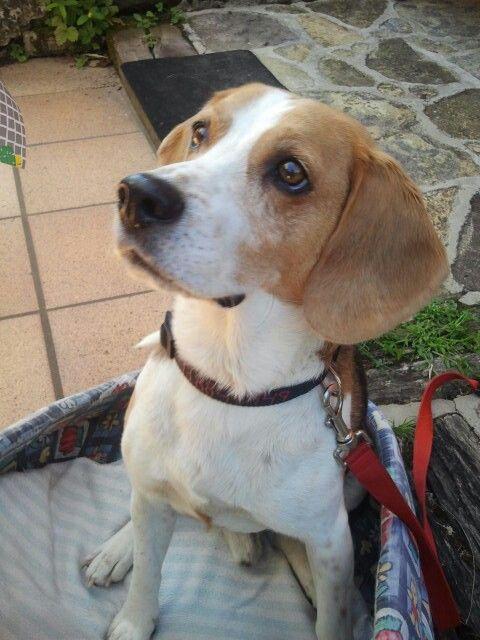 Precious #beagles