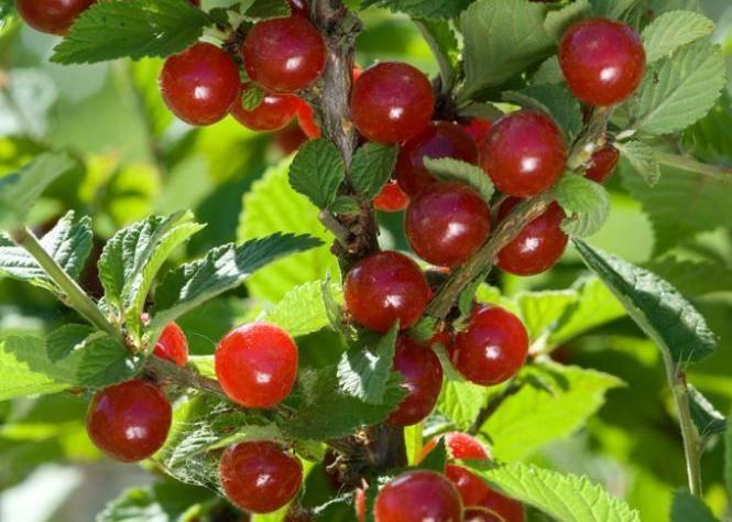 arbre a baie rouge beautiful le fruit est une drupe noire luisante c uest un fruit charnu avec. Black Bedroom Furniture Sets. Home Design Ideas