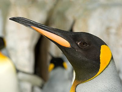 If you love penguins (of course you do) read on for everything you need to know about penguins