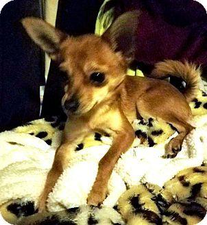 Federal Way, WA - Chihuahua/Pomeranian Mix. Meet Mia - Little 4 lb. princess! a Dog for Adoption.
