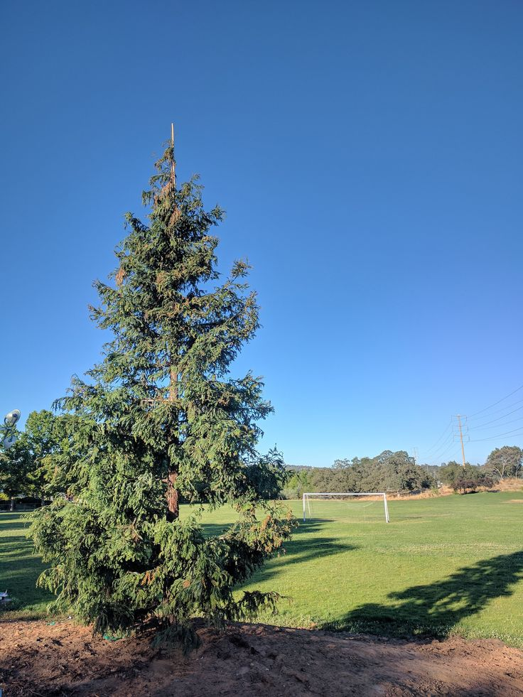 The Cameron Park Community Services District planted a new tree at Christa McAuliffe Park. The towering 24-foot Aptos Blue Redwood is intended to be the centerpiece of Christmas tree lighting ceremonies during future holiday seasons. It was planted at the site of the Christa McAuliffe monument...  http://www.villagelife.com/cameron-park-life/christmas-in-july/