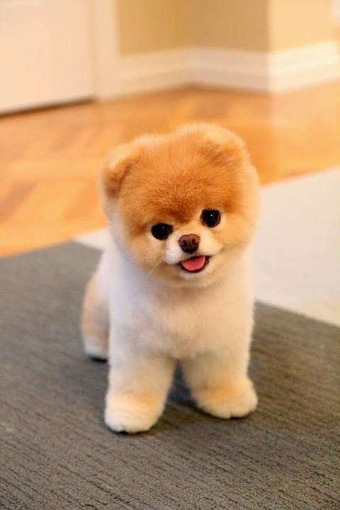 10 best cute puppies images on pinterest baby puppies cubs and boo the cutest dog in the world voltagebd Image collections