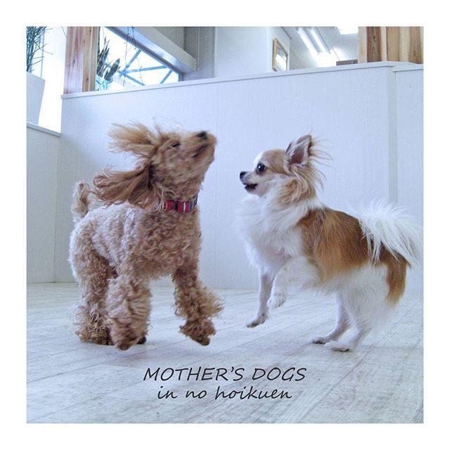 元気💛💛💜 犬たちの幸せな時間…🌿🌿 . . . . #犬の保育園#dogswith #犬 #シュナウザー #犬の広場#犬と遊ぼう #室内ドッグラン #トイプードルホワイト #わんこなしでは生きていけません会 #トイプードル #いぬら部 #トイプー #福岡市#ドッグサロン #犬の保母さん#トイプードル部 #福岡市のドッグサロン #fluffy #いぬバカ部 #福岡市のトリミングサロン #トリミングサロン #dogsalon #福岡のトリミングサロン#マザーズドッグス #愛犬 #トイプードルレッド #dog #dogs #ドッグラン #ふわもこ部