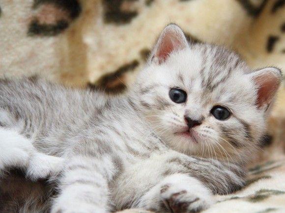Wallpaper d'un chaton blanc tigré gris couché                                                                                                                                                      Plus