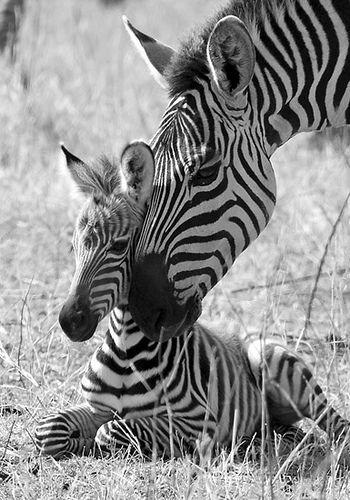 Zebra nuzzles