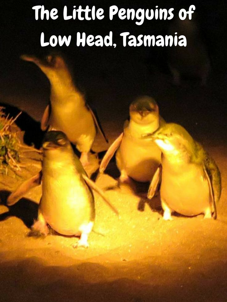 A penguin tour to see the little penguins of Low Head, Tasmania