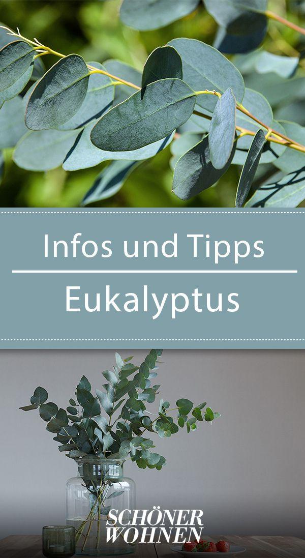 Eukalyptus – pflanzen, pflegen, schneiden