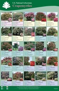 Crape Myrtle Introductions Poster.. I have two in my front yard. This could be very helpful.
