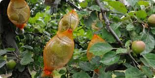 Afbeeldingsresultaat voor pomme prisonniere calvados