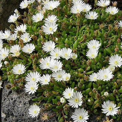 200+ Ice Plant White Flower Seeds ,Under The Sun Seeds