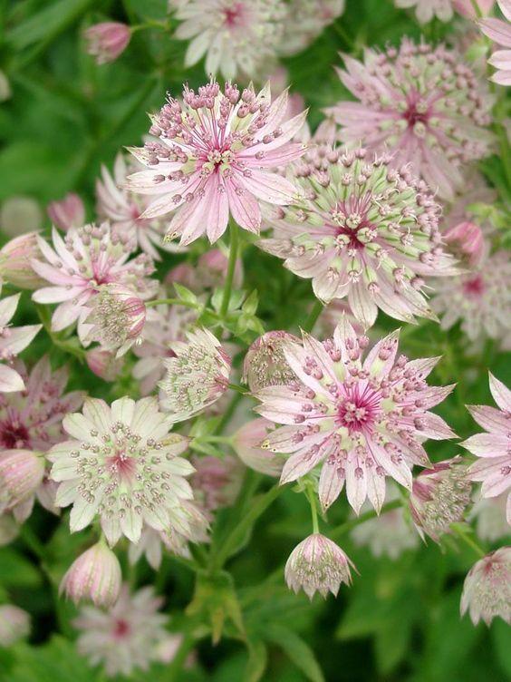 Mehrjähriges Foto zu Astrantia major & # 39; Buckland & # 39; (Masterwort)   – Pflanzen