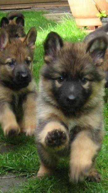 15 Preuves Que Les Chiots Essayent Secretement De Vous Tuer Les Petits Voyous Annie Caramel Welpen Hunde Schaferhunde