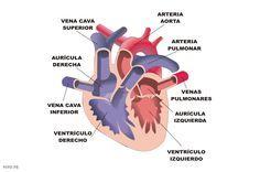 Resultado de imagen de partes del corazon humano para niños