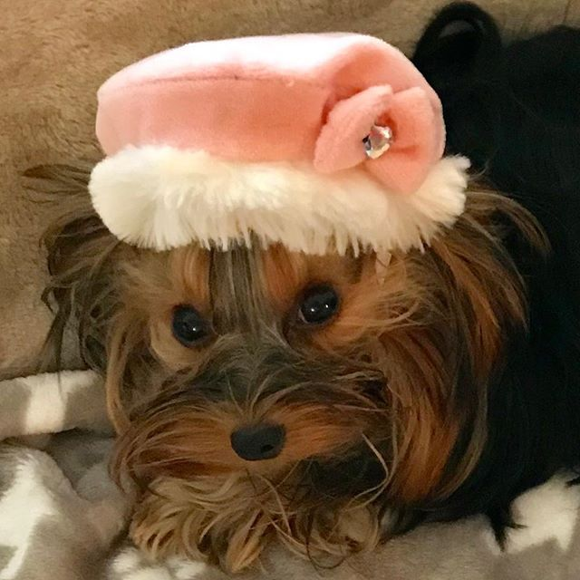I'm wearing hat today💖 How do I look ? ☆☆☆ I was tagged by 🌸♡ placid pretty eyes yorkie girl Love & ♡Mischievous energetic yorkie boy Royce @loveroinsta and ♡Very cute 13 years old yorkie girl Runrun & ♡Look good in banana hats cute maltese girl Ponpon @yuko_runpon participate in the #dogpersonality baton challenge💓 ☆☆☆ Mirei is has lot of curiosity and tomboy 😉 When we go for the walk and met another doggie, She is very excite every times. Because She love to play them. When She is so…