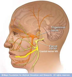 Trigeminal Nerve V  Facial Nerve VII