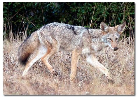 Coyotes often live in packs of about six closely related individuals. But they usualy hunt in pairs, not in whole packs. They live in burrows, often ones dug by groundhogs or badgers, although they may sometimes dig their own. Their favorite foods are small mammals, including voles, prairie dogs, eastern cottontail rabbits, and mice. Both parents take turns feeding the older pups. How do they do it? They throw up partly digested food and let them eat that.