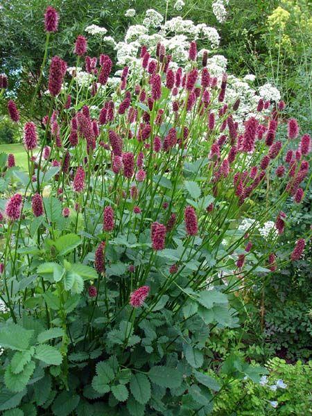 Tankar om och från min trädgård.: Pimpinell -släktet – Sanguisorba – Frösådd.