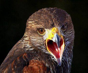 【衝撃】鷹は死ぬまでに時間ループもののアニメみたいな恋愛を繰り返すらしい! オタクニュース