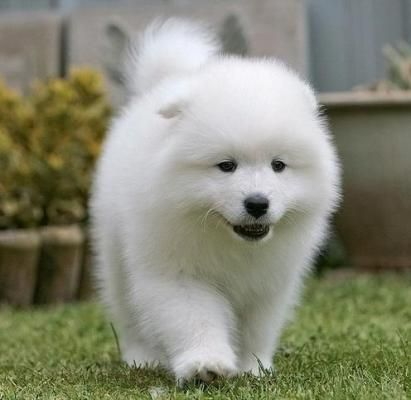 Samoyed Puppies Sale Alger | Petzlover 92567  – Ideas for the House