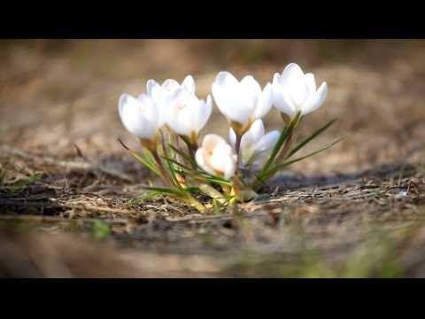 Весна пришла, первые цветы крокусы и подснежники
