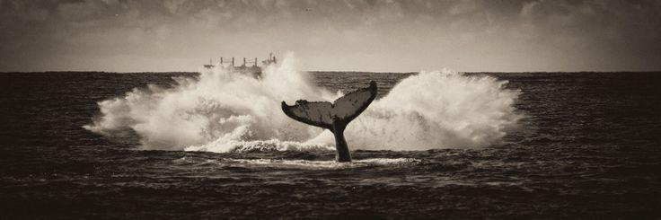 Humpbacks moving north along the East Coast of Australia, such an awesome site!
