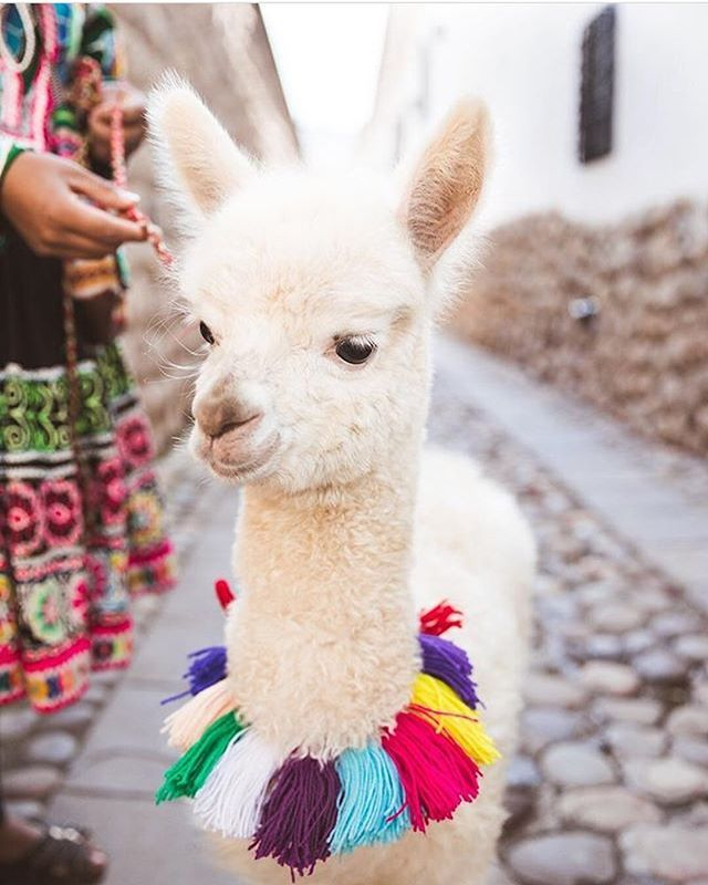 This Adorable Alpaca Is Wishing You A Happy Weekend Photo By