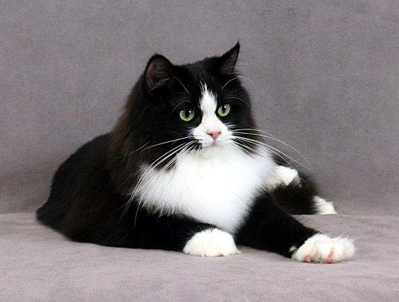 black ragamuffin cat | Tuxedo Rags Coco of Ultimate Rags
